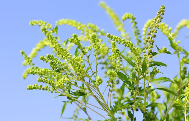 alergeni iz prirode