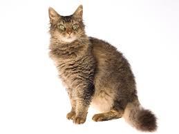 antialergijska mačka