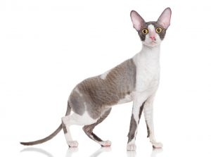 antialergijske mačke