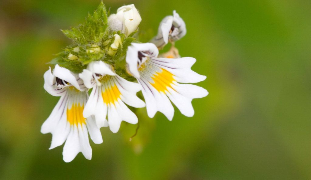 euphrasia-officinalis