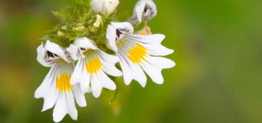 euphrasia-officinalis