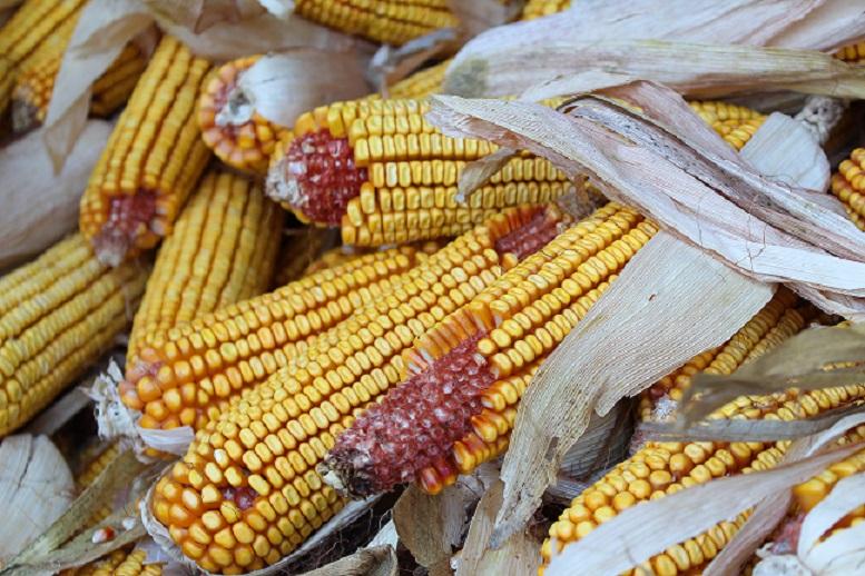 kukuruz žitarica bez glutena