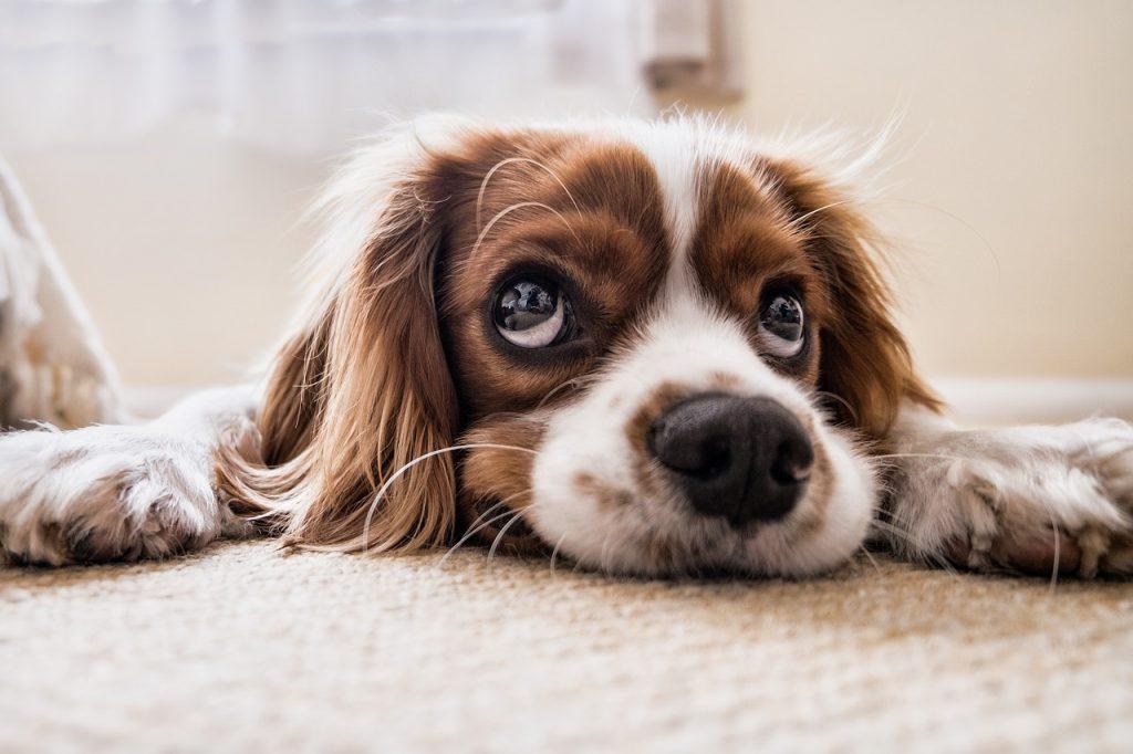 alergija na dlaku psa