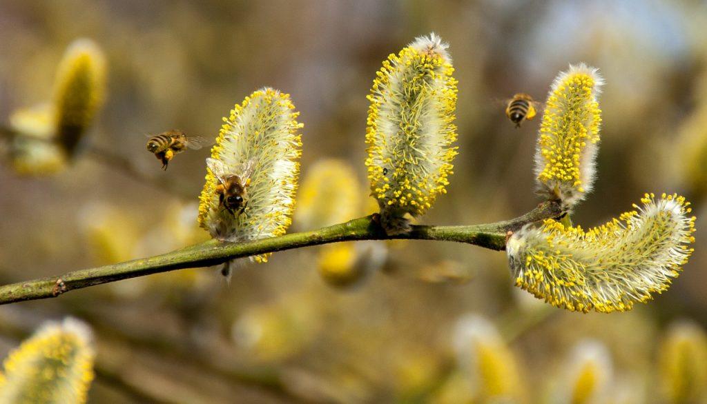 sezona polena