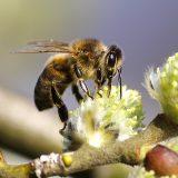 alergija na ubod insekata
